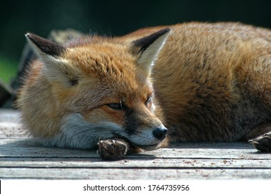 Red Fox (Vulpes vulpes) Adult laid down on decking,resting,relaxing.