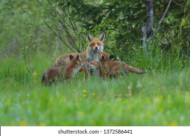 Red fox, vulpes vulpes , adult fox with young