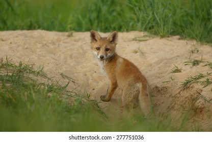 Red fox, Vulpes vulpes, Attentive fox cub sitting near his den.