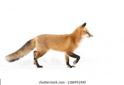 Red fox (Vulpes vulpes) with a bushy tail  isolated on white background hunting through the freshly fallen snow in winter in Algonquin Park, Canada