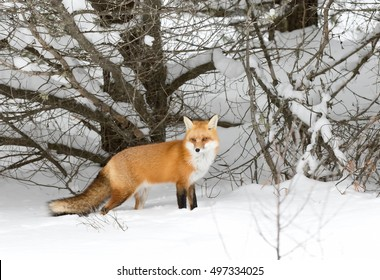 Red fox Vulpes vulpes with a bushy tail  hunting in the snow in winter in Algonquin Park in Canada