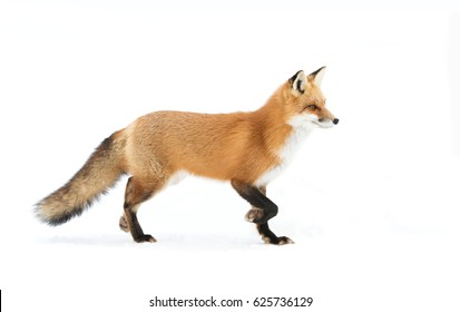 Red fox Vulpes vulpes with a bushy tail  isolated on white background hunting through the freshly fallen snow in winter in Algonquin Park, Canada