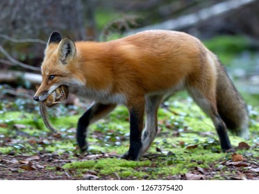 Red fox Vulpes vulpes with chipmunk in its mouth in Algonquin Park, Canada in autumn
