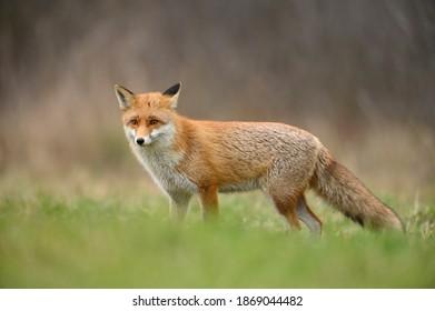 Renard rouge ( Vulpes vulpes ) en gros plan
