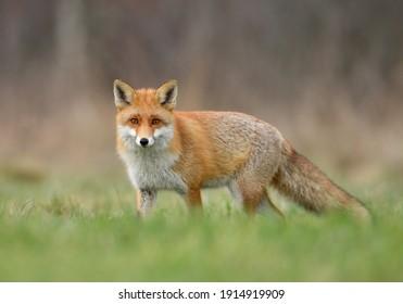 Red fox ( Vulpes vulpes ) close up