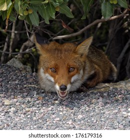 Red Fox (Vulpes vulpes) from Corsica, France, Europe