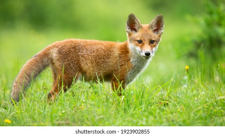 Red fox, vulpes vulpes, cub looking to the camera on sunny meadow in summer. Young mammal standing on field in sunlight. Little animal watching on flowered glade.