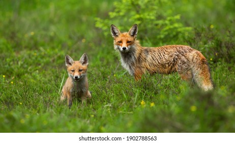 Red fox, vulpes vulpes, cub sitting on green meadow with adult standing behind it in springtime. Young wild animal with orange fur inside forest. Mammal looking into camera in nature.