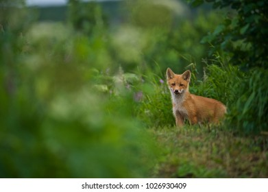 red fox (Vulpes vulpes) cubs, NcNeil, AK