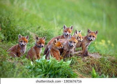 Red fox, vulpes vulpes, cubs sitting by the den. Group of animal babies looking around. Wildlife scenery with multiple small wild predators.