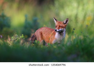 Red Fox (Vulpes vulpes) during spring time in green grass.