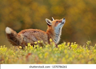 Red Fox, Vulpes vulpes in fall forest. Beautiful animal in the nature habitat. Wildlife scene from the wild nature. Fox running in orange and yellow autumn leaves. Animal in fall wood habitat.