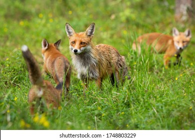 Red fox, vulpes vulpes, family with mother and three cubs hunting and playing on a glade in summer. Protective female mammal guarding her offspring while exploring forest.