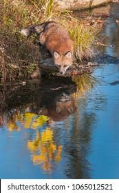 Red Fox (Vulpes vulpes) Gazes into Water - captive animal
