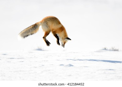 Red Fox (Vulpes vulpes) - Hunting II