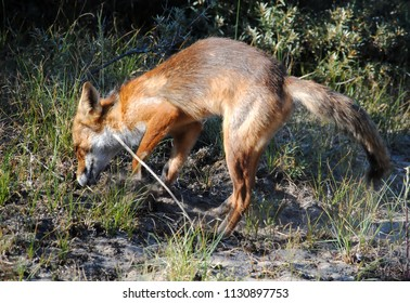 Red fox (Vulpes vulpes) hunting for a mouse, National Park Amsterdamse Waterleidingduinen
