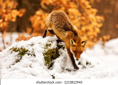 red fox (Vulpes vulpes) is hurry to forest