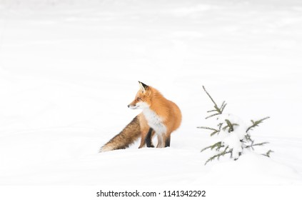 Red fox Vulpes vulpes isolated on white background with bushy tail hunting through the snow in Algonquin Park in Canada