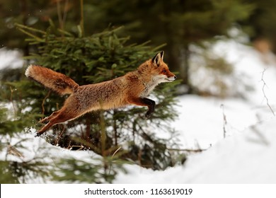 red fox (Vulpes vulpes) jumping from woods to food