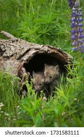 Red Fox (Vulpes vulpes) Kits Huddle Inside Log Summer - captive animals