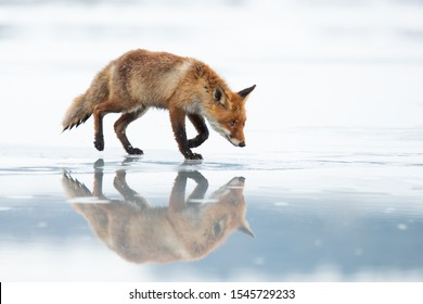 The red fox (Vulpes vulpes) is the largest of the true foxes and one of the most widely distributed members of the order Carnivora