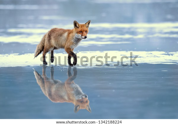 Red fox (Vulpes vulpes) is the largest of the true foxes and one of the most widely distributed members of the order Carnivora, being present across the entire Northern Hemisphere