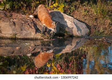 Red Fox (Vulpes vulpes) Leans Out Over Water Reflected Autumn - captive animal