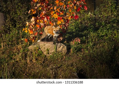 Red Fox (Vulpes vulpes) Looks Out From Atop Rock Autumn - captive animal