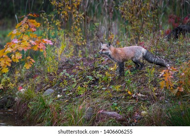 Red Fox (Vulpes vulpes) Looks Towards Edge of Island Autumn - captive animal