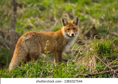 Red fox (Vulpes vulpes) in the meadow in early spring. Bieszczady Mountains. Poland