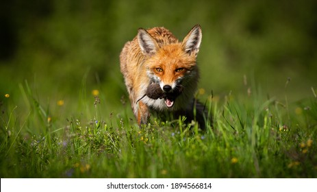 Red fox, vulpes vulpes, with mouse in mouth on glade on summer sunlight. Orange preadtor feeding on sunny grassland from fornt. Wild mammal hunting vole on meadow with copy space.