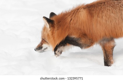 Red Fox (Vulpes vulpes) Moves Low Through the Snow - captive animal