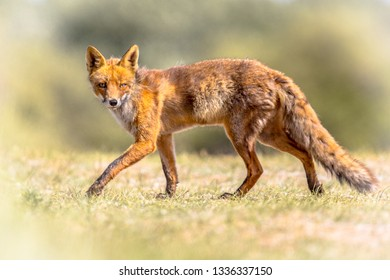 Red fox (Vulpes vulpes) in natural vegetation. This beautiful wild animal of the wilderness. Walking while looking sly in the camera.
