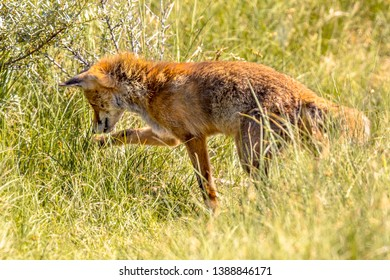 Red fox (Vulpes vulpes) in natural vegetation. This beautiful wild animal of the wilderness. hunting for mice in high grass