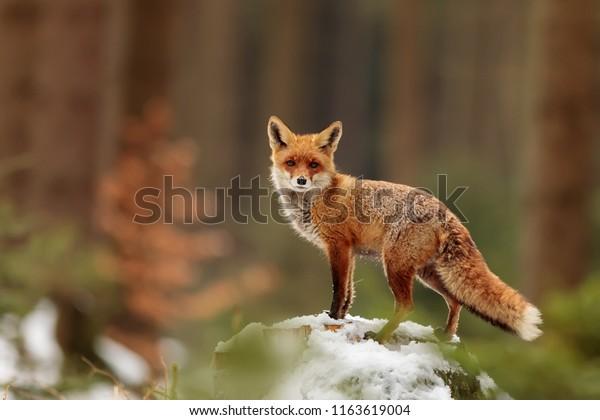 roter Fuchs (Vulpes vulpes), der im Quellwald auftritt