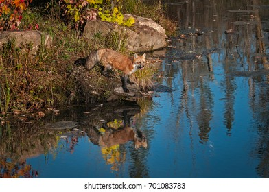 Red Fox (Vulpes vulpes) With Reflection - captive animal