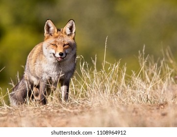 Red Fox (Vulpes vulpes), Sierra Morena, Andalucia, Spain.