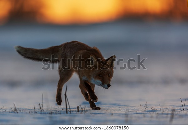 red fox (Vulpes vulpes)  silhouetted against the sky at dawn