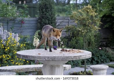 Red fox, Vulpes vulpes, single mammal in garden,  UK