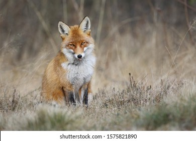 Red fox, vulpes vulpes , the fox sits on a meadow watching the surroundings