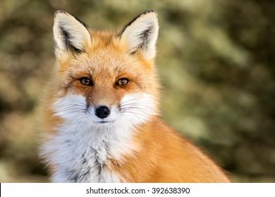 Renard rouge - Vulpes vulpes, assis à l'attention, contact visuel direct, un peu de neige au visage, arrière-plan arboré