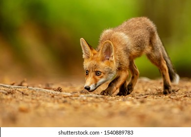 red fox (Vulpes vulpes)  is snuffing close up