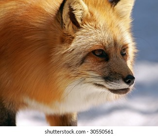 A red fox (vulpes vulpes) stalks its prey
