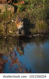 Red Fox (Vulpes vulpes) Stands on Rock Reflected in Water Autumn - captive animal