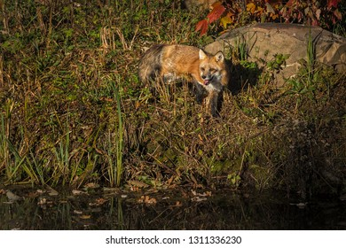 Red Fox (Vulpes vulpes) Stands Paw Up Mouth Open on Shore Autumn - captive animal