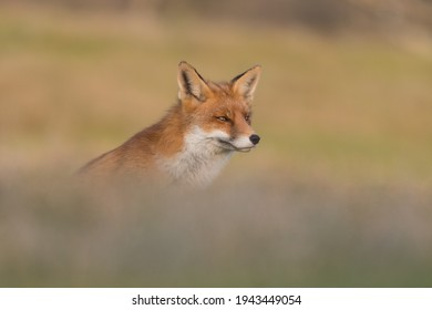 Red fox (vulpes vulpes) with sunset, photographed in the dunes of the netherlands.