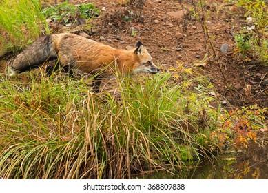 Red Fox (Vulpes vulpes) Trots on Shoreline - captive animal