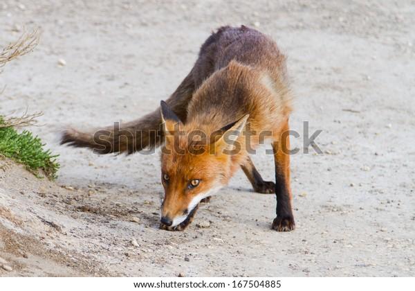 Red fox (vulpes vulpes) in Victoria (Great Ocean Road), Australia