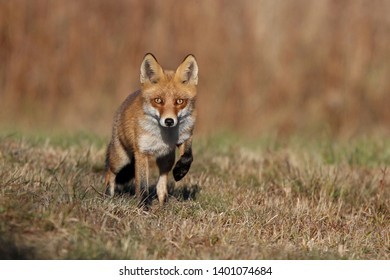 Red Fox (Vulpes vulpes)Mouse foxed with fox,Fox in the meadow