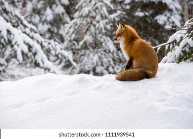 Red Fox, Vulpes vulpes, in Winter in Algonquin Provincial Park, Ontario, Canada